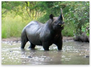 BlackRhino.jpg